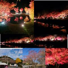 四季桜/ライトアップ/紅葉 今年はライトアップ見に行けなかったので、…