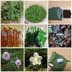 バラ/家庭菜園 庭に大量に生えている大葉、このまま種が落…(1枚目)