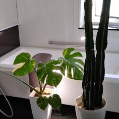 ジャングル化/植物の育て方/グリーンのあるインテリア/グリーンのある生活/グリーンのある暮らし/植物のある暮らし/... *グリーンの育て方* ↓↓↓ うちは毎日…(1枚目)