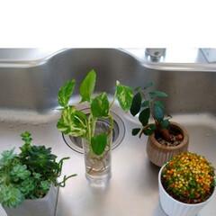 ジャングル化/植物の育て方/グリーンのあるインテリア/グリーンのある生活/グリーンのある暮らし/植物のある暮らし/... *グリーンの育て方* ↓↓↓ うちは毎日…(2枚目)