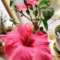 ハイビスカスの花 真冬でも咲いてくれる我が家のハイビスカス…