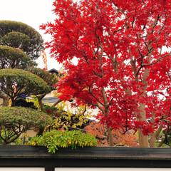 秋/風景/お弁当/娘弁当/紅葉 我が家の庭もキレイに色づきました🍁 (2枚目)
