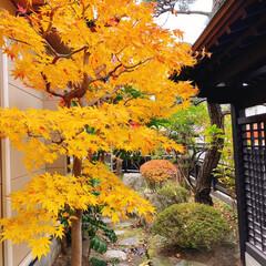 秋/風景/お弁当/娘弁当/紅葉 我が家の庭もキレイに色づきました🍁 (1枚目)