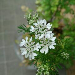 グルメ/野菜/ハーブ/園芸/ベランダガーデン/暮らし さて、このかわいらしい繊細な白いお花は …