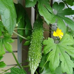 野菜/おうち/ベランダ/菜園/農家/栽培/... 暑いです! 気温がぐんぐん上がって汗が止…