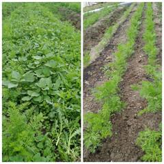 農家/菜園/園芸/グルメ/おうち時間/野菜 草むしりほぼ完了です! ジャングル状態か…