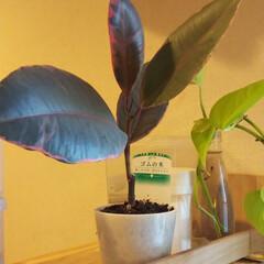 植物/観葉植物/ゴムの木/インテリア ホームセンターに行ったら100円に値下が…