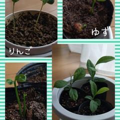 果樹/りんご/金柑/柚子/レモン/種から育てる/... 寒暖差が激しいですねー。 暖かくなって少…