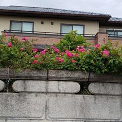 お家でもオシャレ バラが咲いた👍