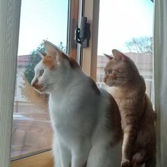 赤トラ/茶白/お散歩猫/保護猫