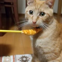 ほたてちゃん/保護猫/茶トラ
