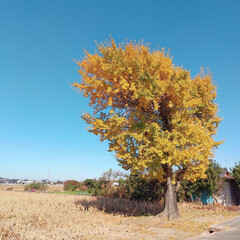 黄金色/イチョウ 暖かい日が続いていてなかなか 黄色の銀杏…