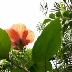Flower/雨/ベランダガーデン 🌈🌻🌺🌴🏖  🦩🦚気まぐれな🌺ハイビスカ…(2枚目)