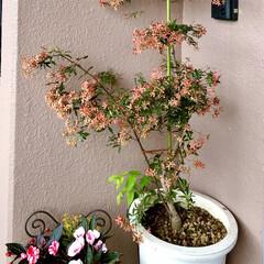 ベランダガーデン 🌈🌺🌴🏖🌻  玄関に🌸🌲 🍁この🌲は葉っ…(2枚目)