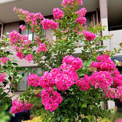 Flower 🌈🍉🌴🌺🐠  🦚もりもり🌸🌸🌸のサルスベ…