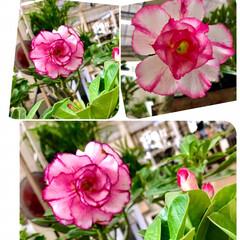 園芸店/Flower 🌈🌻🍉🌴🍉🌴  色ちがい💖ショッキングピ…