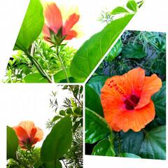 Flower/雨/ベランダガーデン 🌈🌻🌺🌴🏖  🦩🦚気まぐれな🌺ハイビスカ…(3枚目)