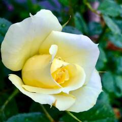 ベランダガーデン 🌈🍉🌴🍉🌴  🦩🍃今年二回目バラが咲きま…