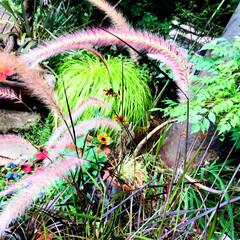 園芸店/Flower 🌈🌻🌺🌴🏖  🌾でかい猫じゃらしっぽいで…(2枚目)