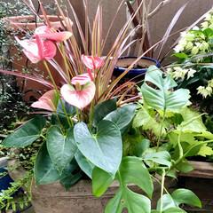 ベランダガーデン 🌈🌻🌺🌴🏖  🦩🦚今日は新しく寄せ植えを…