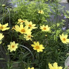 お散歩ガーデン/Flower 🌈🌻🌺🌴🏖  🦩🌿雨の中元気よく咲いてい…