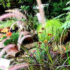 園芸店/Flower 🌈🌻🌺🌴🏖  🌾でかい猫じゃらしっぽいで…(1枚目)