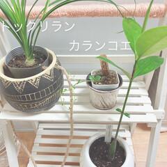 まだ ベビーちゃん達/3件/観葉植物専門店/リビング/玄関/キッチン/...  ョ'ω'〃)おはようございます♪ 今日…(1枚目)