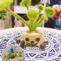 ミニ羊毛観葉植物/可愛い/鉢/ペペロミア/オリンピック/雨/... ~(=^・ω・^)ノ☆ おはよぉ 第二弾…(1枚目)