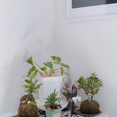 お着物/改善中/植物置き場/インテリア/ドライフラワー/苔玉ツツジ/... ついにリビングに植物置き場を作りました…(1枚目)