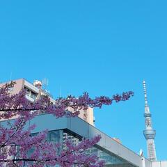 スカイツリー/綺麗/去年/桜 スカイツリーと桜  去年の写真(1枚目)