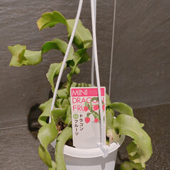 果物/苗/ベランダ/ミニドラゴンフルーツ/玄関 凄い珍しい植物が 売ってたので 2個購入…(1枚目)