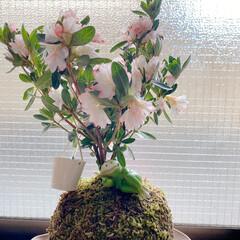 ホワイトデー/綺麗/可愛い/盆栽/ツツジ/苔玉/... 苔玉ツツジ君です  ちょっと早いホワイト…(1枚目)