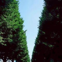 イチョウ並木 🌴☀️SUMMER🍧🌴こんばんは(*^▽…