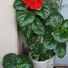 Flower/ベランダガーデン 🌴🌺🍧SUMMER🍧🌺🌴  去年から咲い…