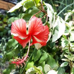 Flower/ガーデン 🌴☀️SUMMER🍧🌴٩(*´︶`*)۶…