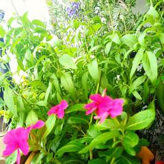 ベランダガーデンのお花 ☀️🍉🌻🏊(*´˘`).。おはよ.:*♡…