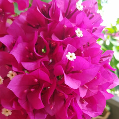 Flower/ベランダガーデン ⛱🌴⛱🌴⛱🌴⛱  🏵ブーゲンビリアが鮮や…