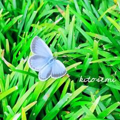 シジミチョウ/水彩/イラスト/blue/夏の予感 絵に描いたような シジミチョウをみつけた☆