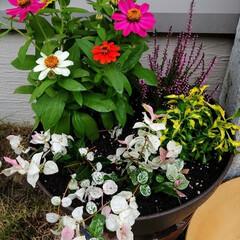 寄せ植え 秋のお花を買いました。(3枚目)