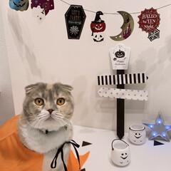 猫アート/ジャクオーランタン/cando/Seria/ハロウィン/100均/... モコちゃんとハロウィン予行練習🎃👻 装飾…
