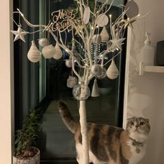 Christmas/300coins/オーナメント/クリスマス/クリスマスツリー/玄関/... 前のおうちでは狭くて、買えなかったツリー…(3枚目)
