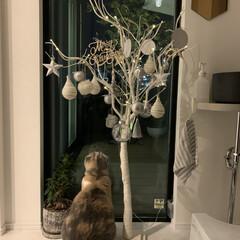 Christmas/300coins/オーナメント/クリスマス/クリスマスツリー/玄関/... 前のおうちでは狭くて、買えなかったツリー…(2枚目)