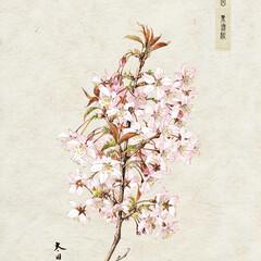 桜/インテリア/机/ダイニング/リビング/玄関/... https://gagaku.base.…