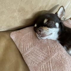 ペットと暮らす/犬 2人ともリラックス〜🙌 おやすみ〜💤(1枚目)