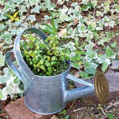 ワイヤープランツ/ブリキジョーロ/リメイク鉢/ガーデニング/庭/ダイソー/... ブリキジョーロを、鉢にリメイク🌿 ワイヤ…(1枚目)