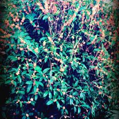 住まい 庭の金木犀が 満開でリビングまで いい香…