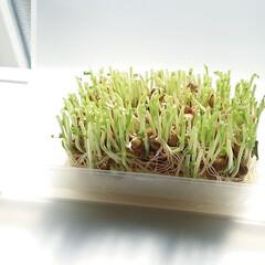 野菜/生活の知恵/100均/家庭菜園/簡単/雑貨/... 最近は天気が良いので 今更ながら豆苗を育…