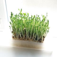 野菜/Seria/セリア/家庭菜園/豆苗/簡単/... またまた豆苗登場  日差しが強いのか に…(1枚目)