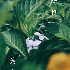梅雨/花/紫陽花 本日の紫陽花  陽を避けるかのごとく咲い…(1枚目)