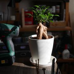 がじゅまる/机/作業部屋/カフェ風/観葉植物 我が家に来てから12日目  日光浴中のガ…(1枚目)
